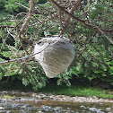 Alarming wasp's nest