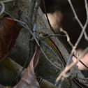 Red-necked bronzeback