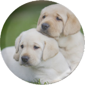 Puppies HD Live Wallpaper