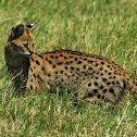Serval; in Swahili-Mondo, Kisongo