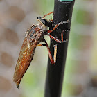 Dusted Robber Fly
