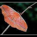 Tassar Silk Moth