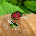 Tortoise Shell Beetle