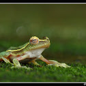 Winged Gliding Frog - male