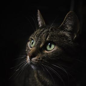 Clair obscur Félin by Serge Thonon - Animals - Cats Kittens ( cats, serge, chat, thonon, clairobscure,  )