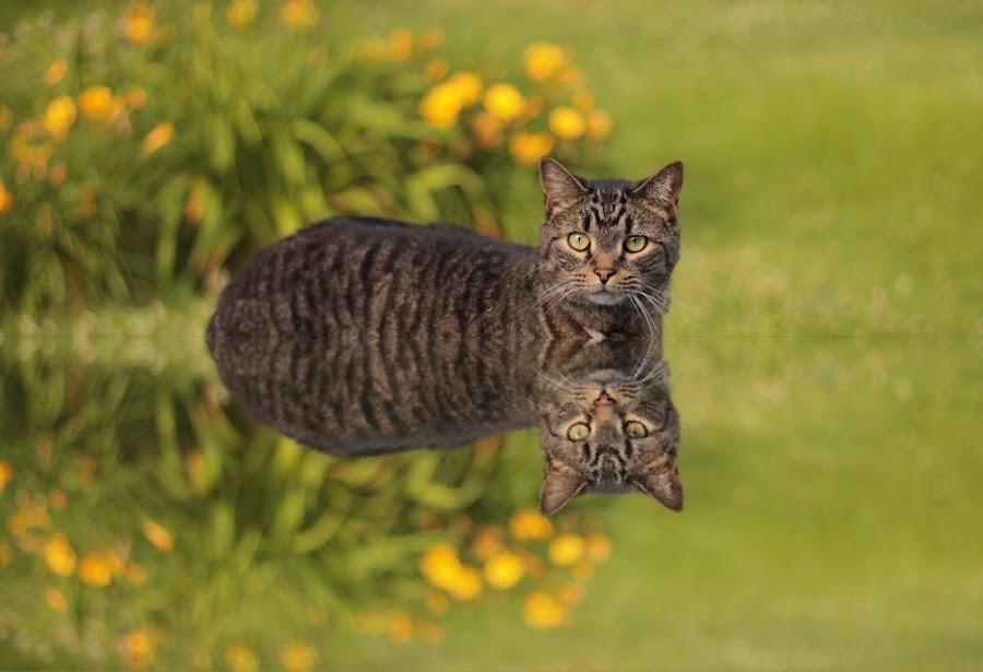 Levitating Feline Reflection by Blaine Linton - Digital Art Animals ( cats, reflection, cat, levitate, feline, animal )