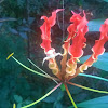 Flame Lily / Glory Lily / Tiger Claw / Fire Lily