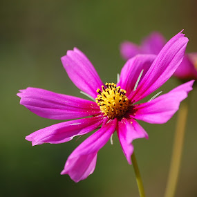 Cosmos by Angel Harvey - Novices Only Flowers & Plants ( nature, purple, pink, bloom, flower,  )