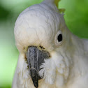 Sulphur- Crested Cockatoo