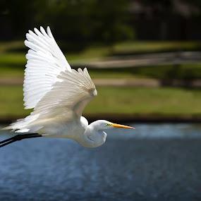 Graceful by John Finch - Animals Birds ( animals - birds - insects - wildlife, crane, birds,  )