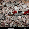 Sonoran Coralsnake