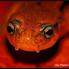 Southern Two-Lined Salamander