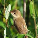Eurasian Reed Warbler / Teichrohrsänger