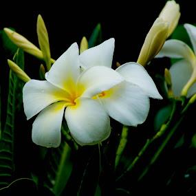 Jasmine by Faizan Hussain - Flowers Single Flower ( jasmine, white, nature close up, yellow, flower )