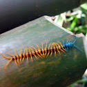 Malaysian Cherry Red Centipede