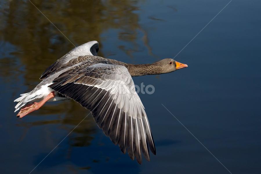 Greylag Goose Landing by Lynton Bolton - Animals Birds ( bird, flight, nature, wings, feathers )