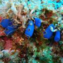 Blue translucent sea squirt
