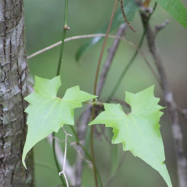 Unique Leaves Of Florida Project Noah