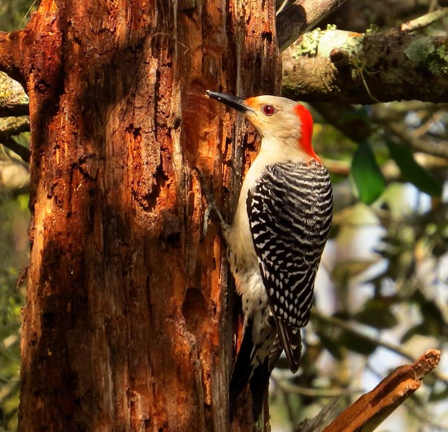 Red Bellied Woodpecker by Howard Stockett - Animals Birds ( striped wings, woodpecker, red bellied, birds, red head,  )