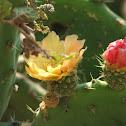 Flor de cactásea