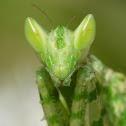 Jeweled Flower Mantis Female