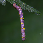 Stout Spanworm Moth