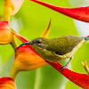 Olive-Backed Sunbird ♀