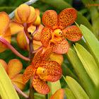 Aranda Orchid