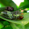 Lime Butterfly Caterpillar (4th instar)