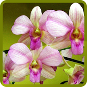 Lovely Orchids Wallpapers