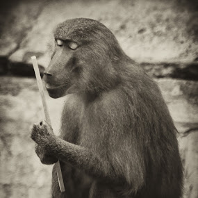 imaginary lover by Boutheina Ferid - Animals Other Mammals ( love, baboon, hug, monkey, animal )