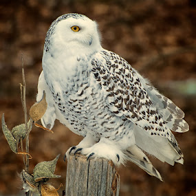 Quick Landing by Betty Arnold - Animals Birds ( bird, bird of prey, owl, snowy owl, animal,  )
