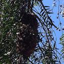 Anna's hummingbird nest active