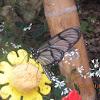 mariposa búho/ owl butterfly