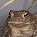 Folwers Toad