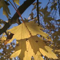 Trees of Michigan