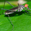 Long-legged Fly with prey