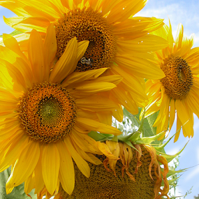 Super Summer Sunnies by Corinne Noon - Flowers Flower Gardens ( petals, sunflowers, gardens, yellow, flowers, fields, Hope )