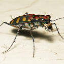 Tiger Beetle
