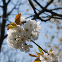 bloesem/blossom