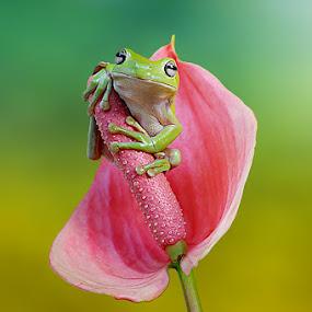 Looking Around by Andri Priyadi - Animals Amphibians ( frog, dumpy frog, indonesia, nikon, animal,  )