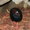 crested wood partridge
