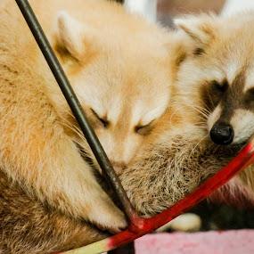 sleep together by Nur Saputra - Animals Other Mammals