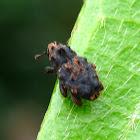 Tiny Weevil