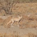 white toed desert fox