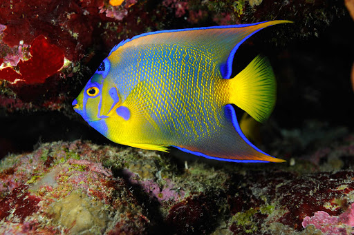 A tropical fish in the reef along the coast of St. Eustatius.