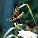 (Eastern) Black Swallowtail Butterfly