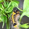 Taiwan Tussock Moth