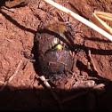 Bronze dung beetle