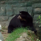 Andean Spectacled Bear